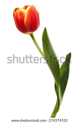 Tulips Yellow Red Orange Tulip Flowers Isolated on White Background