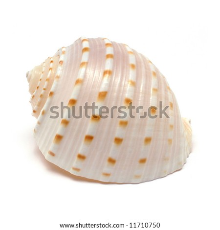 Tun Spiral shell isolated on white - stock photo