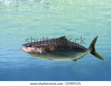 Tuna Cobia swimming over tropical coral reef - stock photo