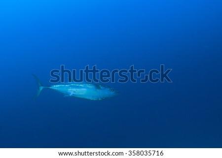 Tuna fish underwater - stock photo
