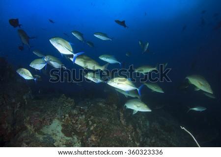 Tuna fish underwater live sea ocean - stock photo