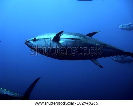 Tuna swims in the ocean - stock photo