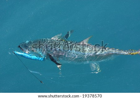 tuna under the water with lure - stock photo