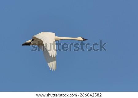 Tundra Swan (Cygnus columbianus) Flying Against a Blue Sky - Ontario, Canada - stock photo
