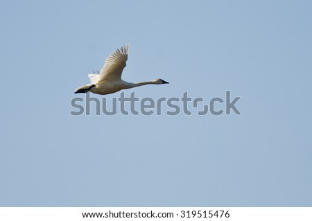 Tundra Swan Flying in a Blue sky - stock photo