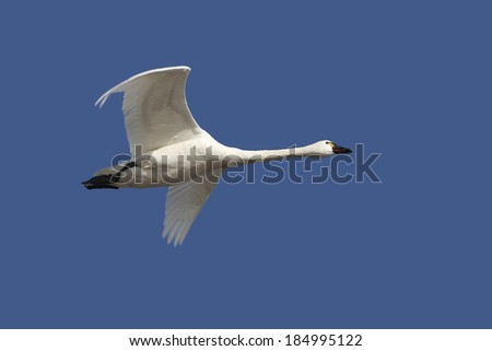 Tundra Swan Flying Overhead in Spring Against a Deep Blue Sky - Ontario, Canada