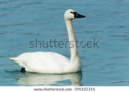 Tundra Swan swimming in the open water.