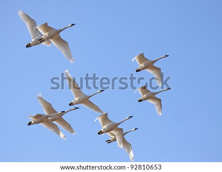 Tundra Swans flying in a clear blue sky. - stock photo