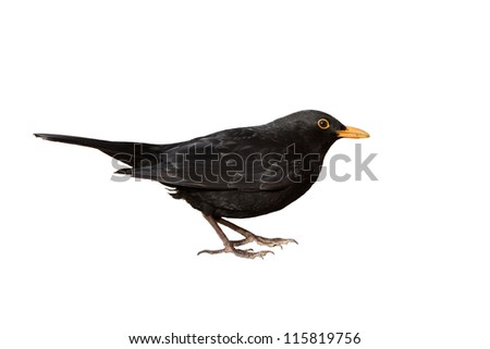 turdus merula - male eurasian blackbird isolated on white background - stock photo