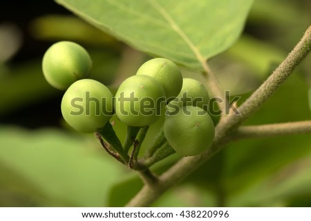 Turkey berry's green fruits(Solanum torvum)