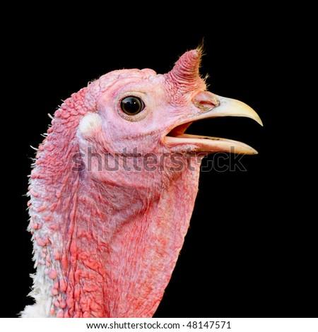 Turkey hen on a black background - stock photo