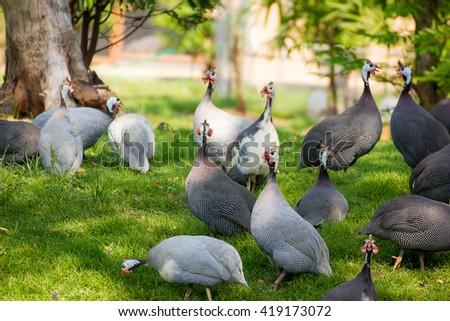 turkey in farm - stock photo