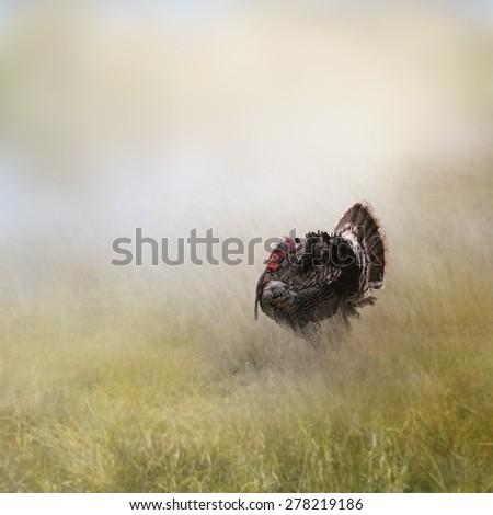 Turkey Male In A Field - stock photo