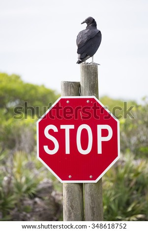 Turkey Vulture (Cathartes aura) Perched on a Stop Sign