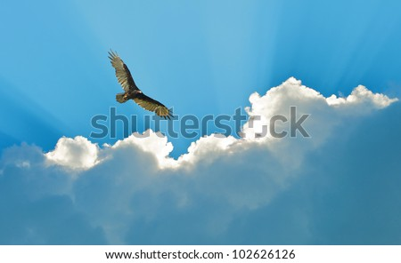 Turkey vulture soaring high, hunting,  against a beautiful dramatic sky. - stock photo