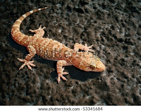Turkish Gecko - Hemidactylus turcicus, on a rough wall - stock photo