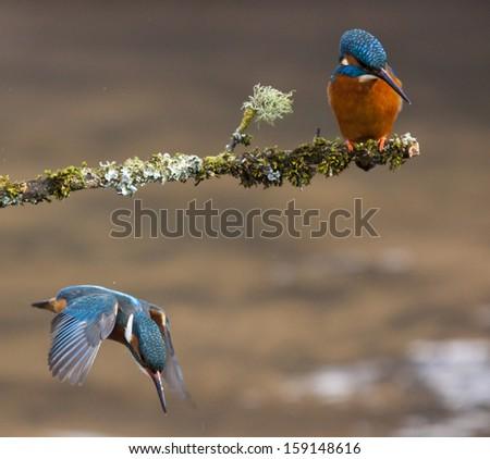 Turn-taking Kingfishers - stock photo
