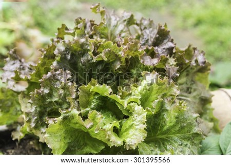 Turnip Green - stock photo