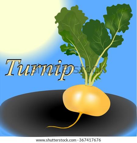 turnip vegetable - stock photo