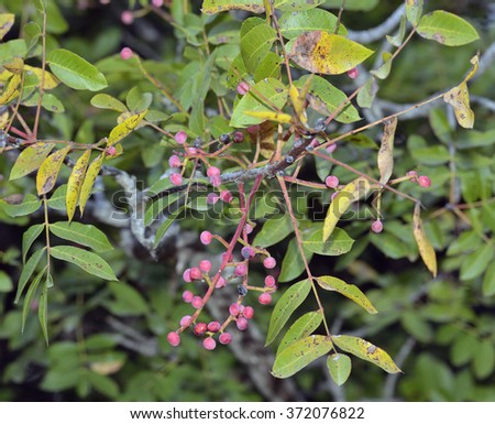 Turpentine Tree - Pistacia terebinthusPink berries & leaves - stock photo