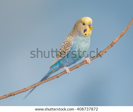 Turquoise and yellow parakeet perched on bare branch - stock photo