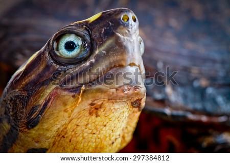Turtle close up studio shot white background - stock photo
