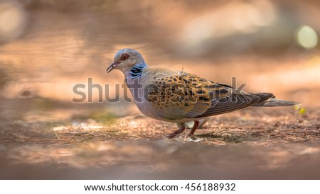 Turtle dove (Streptopelia turtur) foraging for seeds on the ground