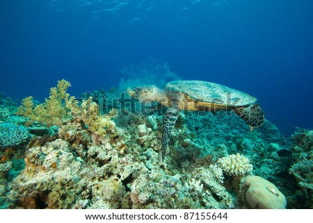 Turtle eating soft coral, creating mucus - stock photo