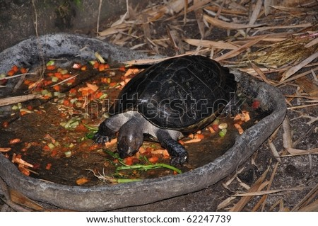 Turtle eating vegetables - stock photo
