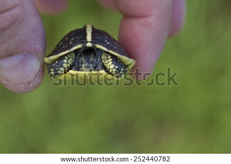Turtle encountered during my walk on Quinlan Street. A young terrapene carolina bauri sitting in the middle of the road. I moved him to the grass.  - stock photo