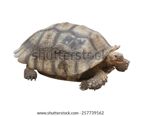 Turtle Farm Animals isolated on white background. - stock photo