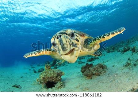 Turtle (Hawksbill Sea Turtle) underwater - stock photo