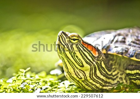 Turtle head portrait in green natue - Red eared slider - Trachemys scripta elegans - stock photo