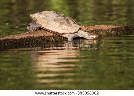 Turtle in Amazon river. - stock photo