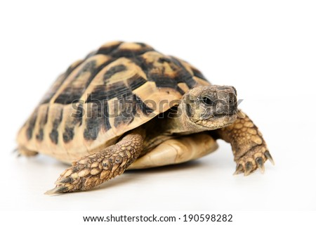 turtle in front of white background - stock photo