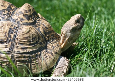 Turtle in grass, europian forest turtle - stock photo