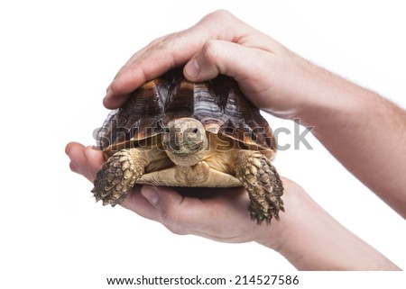 Turtle in hands on white background - stock photo