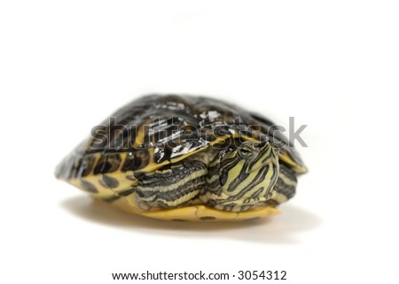 turtle in his shelf, isolated on white