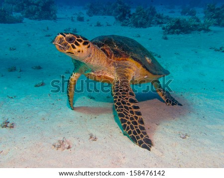 Turtle in Red Sea Dive - stock photo