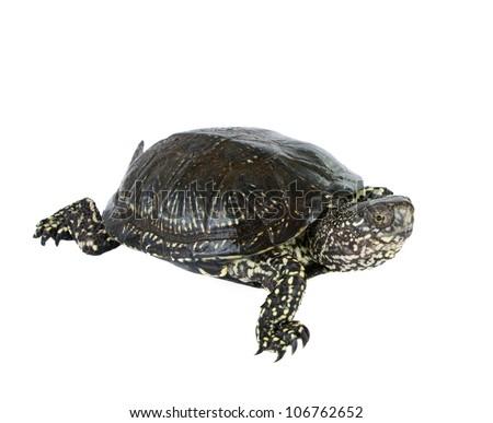 turtle isolated on white background - stock photo