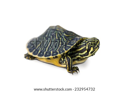 Turtle isolated on white background. - stock photo