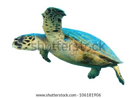 Turtle isolated on white background stock photo - stock photo