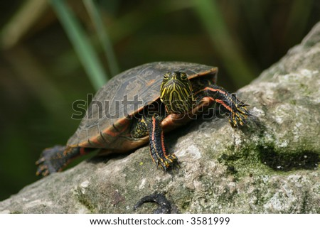 Turtle On a Rock - stock photo
