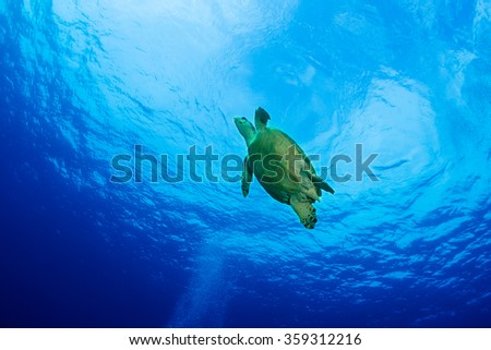 Turtle on the reef of the Red Sea - stock photo