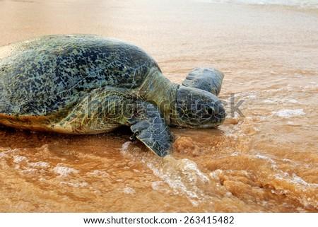 Turtle on the wild beach. Sri Lanka - stock photo