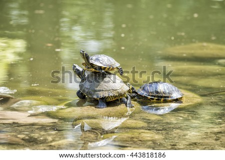 turtle on top of another turtle - stock photo