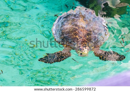 Turtle pops its head up in a Maldives lagoon