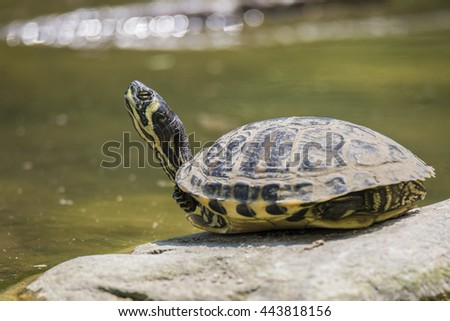 turtle relaxes on a stone
