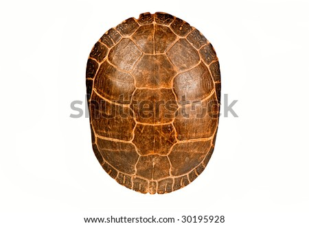 Turtle Shell Vector Turtle Shell Isolated