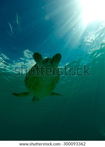 Turtle swimming in the sea  - stock photo